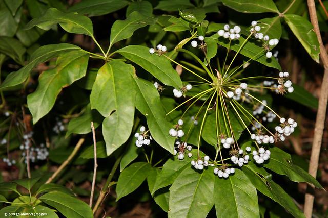 Mackinlaya macrosciadea - Mackinlaya