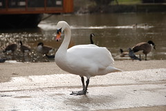 White Swan on Medway in Maidstone 1