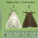 Muslin Moth - Photo (c) Didier, some rights reserved (CC BY-SA)