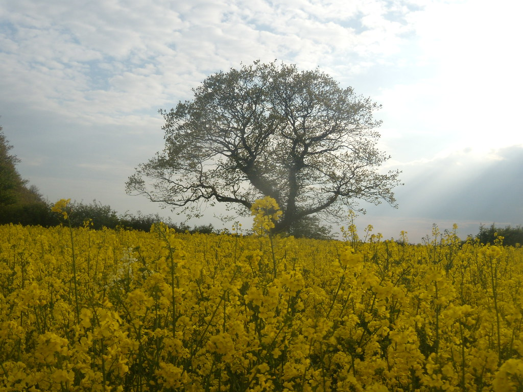 Tree and rapefield Pluckley Circular
