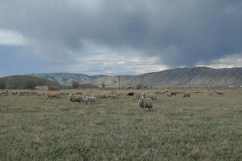 sheep voice hear mywinners
