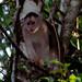 Mono Capuchino - Photo (c) Carol Foil, algunos derechos reservados (CC BY-NC-ND)