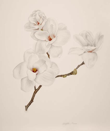 "Angela Mirro, Magnolia 'Columbus', 2007  Watercolor on paper, 22"" × 20"". © Copyright Brooklyn Botanic Garden"