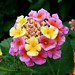Lantana - Photo (c) Virginia Sanderson, some rights reserved (CC BY-NC-ND)