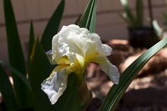 iris(0.0), cattleya labiata(0.0), cattleya trianae(0.0), plant stem(0.0), eye(0.0), flower(1.0), yellow(1.0), plant(1.0), macro photography(1.0), laelia(1.0), flora(1.0), close-up(1.0),