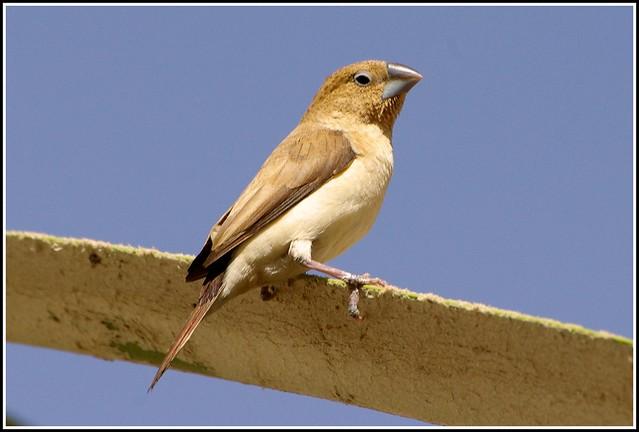 Серебряноклювая амадина (Euodice cantans), Фото фотография птицы картинка