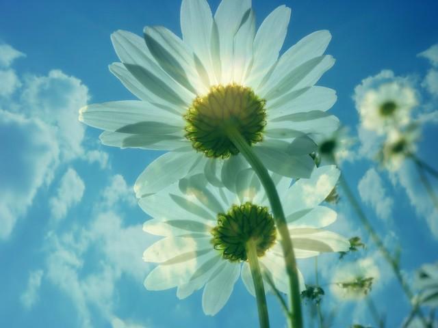 ✽ marguerites ✽ daisies ✽
