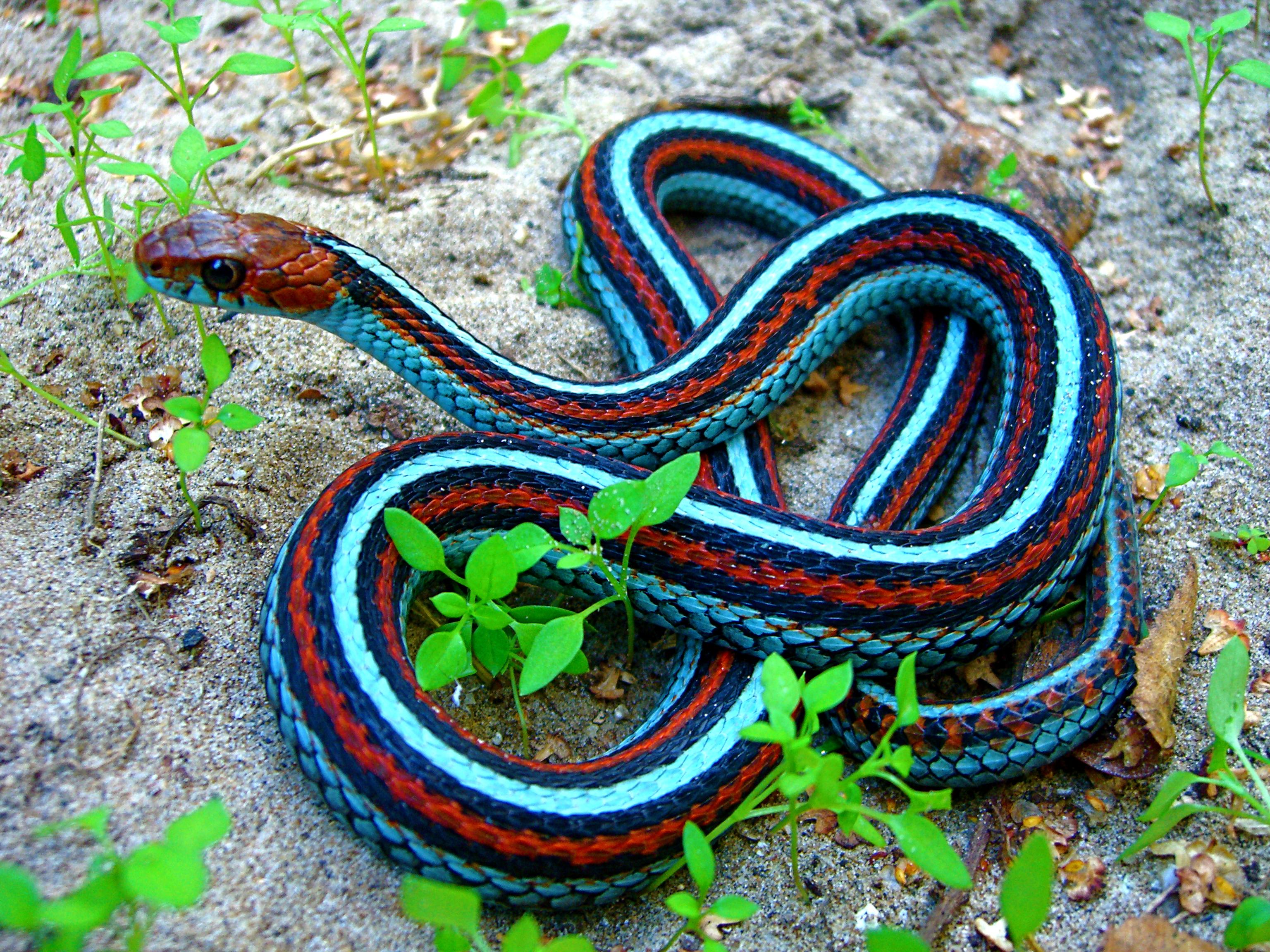 California red- sided garter snake   Sneks cf69a4f08