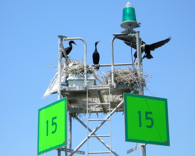 Cormorants, Buoy No 15, Newark Bay, New Jersey