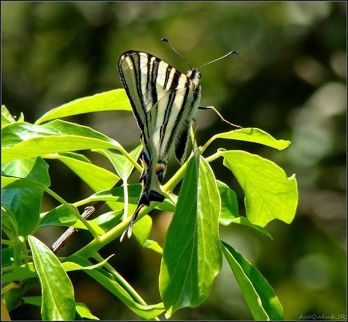 portugal nature butterfly natureza papillon borboleta soe vouzela supershot topshots bej passionphotography swallowtailbutterflies theunforgettablepictures natureselegantshots rubyphotographer flickrbestpics flickrsportal dblringexcellence