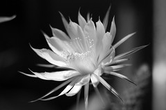 flower, white, moonlight cactus, macro photography, monochrome photography, flora, selenicereus grandiflorus, close-up, still life photography, epiphyllum oxypetalum, caryophyllales, monochrome, black-and-white, petal,