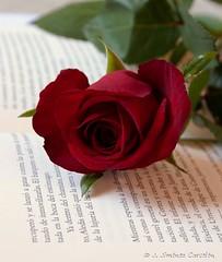 Una rosa, una historia