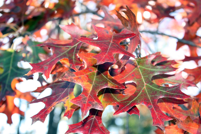 red oak leaves up close