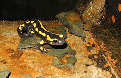 frog(0.0), marine biology(0.0), wildlife(0.0), animal(1.0), amphibian(1.0), newt(1.0), salamander(1.0), fauna(1.0), european fire salamander(1.0),