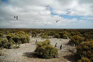 Pingouins et Goëlands