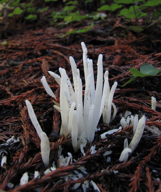 fairy fingers - clavaria vermicularis