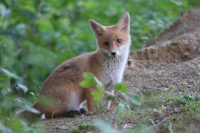 Red fox cubs  Vulpes vulpes Red Fox Cubs
