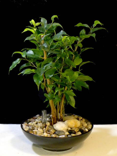 six month old ficus benjamina converted to hydroculture. Black Bedroom Furniture Sets. Home Design Ideas