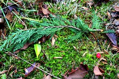 cedar branch and hawthorne berry near our house    M…