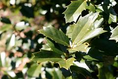 blossom(0.0), maidenhair tree(0.0), shrub(0.0), flower(0.0), branch(0.0), plant(0.0), produce(0.0), bay laurel(0.0), autumn(0.0), evergreen(1.0), leaf(1.0), sunlight(1.0), flora(1.0), green(1.0), aquifoliaceae(1.0), aquifoliales(1.0),
