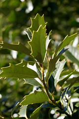 blossom(0.0), shrub(0.0), flower(0.0), produce(0.0), food(0.0), bay laurel(0.0), evergreen(1.0), branch(1.0), leaf(1.0), tree(1.0), plant(1.0), flora(1.0), green(1.0), aquifoliaceae(1.0), aquifoliales(1.0),