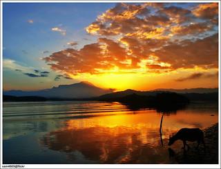 2 Feb: Kerbau mencari makanan di sungai Mengkabong?