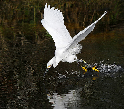 Snowy Egret in Flight Fishing - Egretta Thula