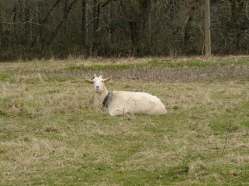 Saint Cricq-du-Gave (40), chèvre posant pour la photo