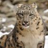 Snow Leopard - Photo (c) Sibylle Stofer, some rights reserved (CC BY-NC-SA)