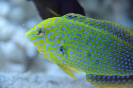 LEOPARD WRASSE Flickr - Photo Sharing!