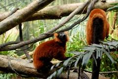 animal, branch, primate, fauna, forest, jungle, wildlife,