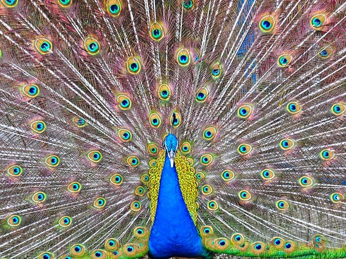 "Majestic Peacock - 2nd Place - 2013 Pipho Online Photo Contest, theme ""Nature, Wildlife and Animals"" (April)"