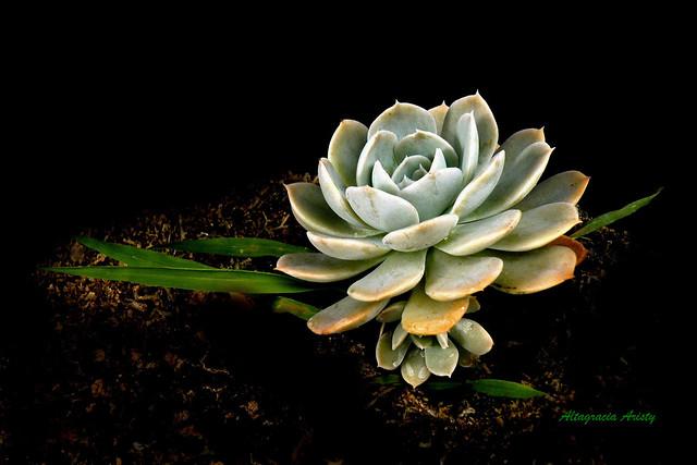 Rosa de Alabastro/Alabaster Rose/Flor de Marmol