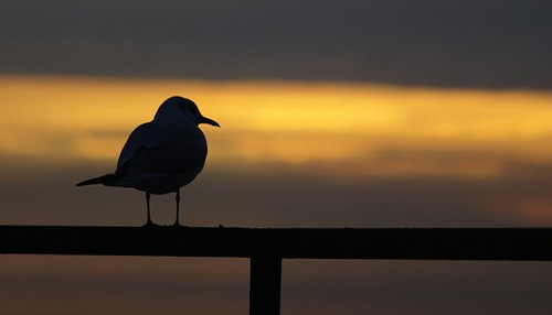 Romantic sea-gull