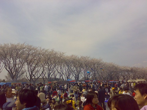 Fantastic view of cherry trees at NSF Kamiseya