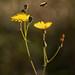 Trabajando en fin de semana (sonchus oleraceus, apis mellifera)