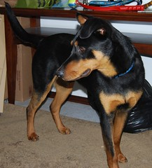 dog breed, animal, dog, german pinscher, manchester terrier, dobermann, pet, mammal, miniature pinscher, pinscher, toy manchester terrier, english toy terrier, polish hunting dog,