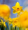 A burst of yellow by Steve-h