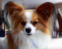 dog breed, animal, dog, pet, phalã¨ne, papillon, carnivoran,