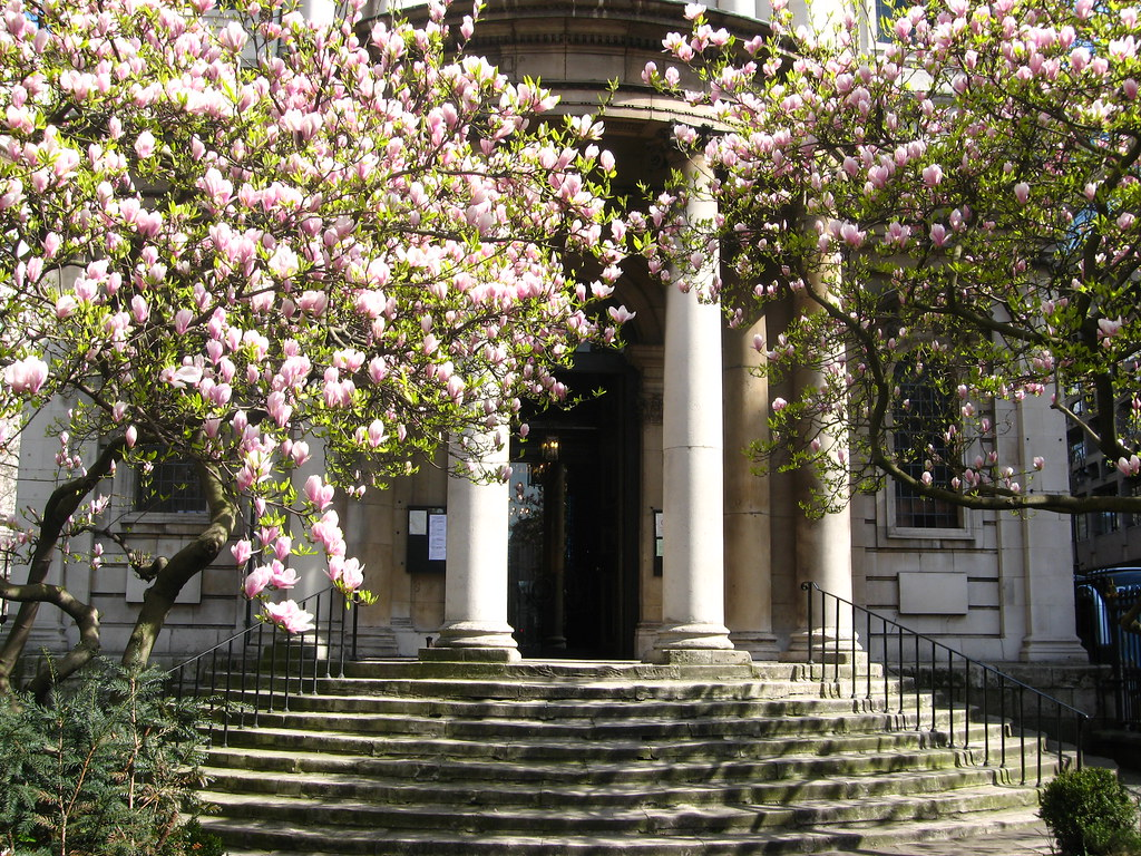 Magnolia Trees At St Mary Le Strand Aldwych Laura Nolte Flickr