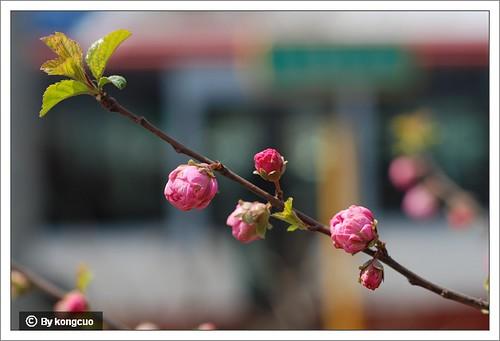 【图】榆叶梅3