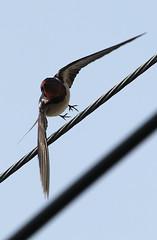animal, wing, macro photography, fauna, close-up, swallow, bird,