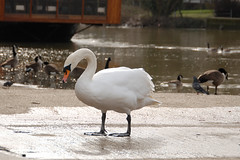 White Swan on Medway in Maidstone 9