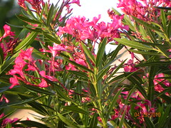 evergreen, flower, plant, flora,