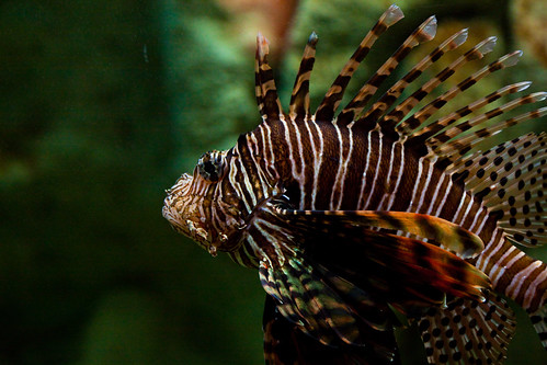 Lion Fish | by dave.scriven