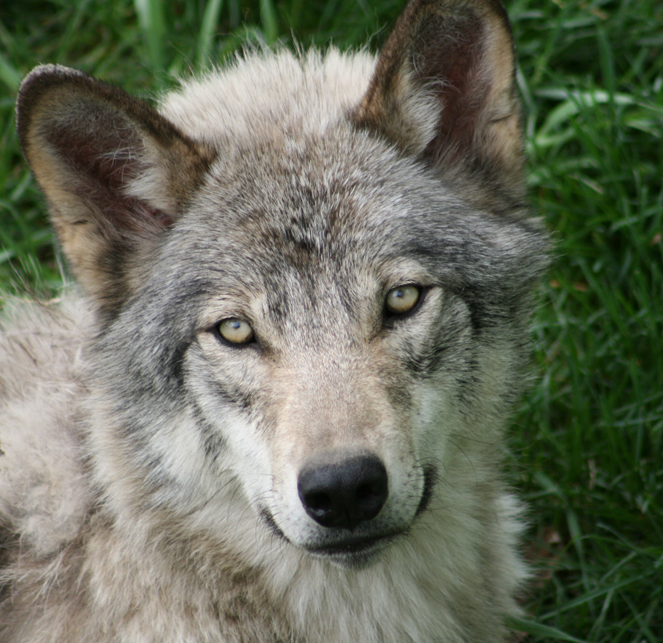Young Wolf Face 1