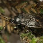 Megalonotus dilatatus