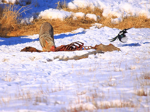 IMG_8517 Coyote, Magpie and Carcass, National Elk Refuge