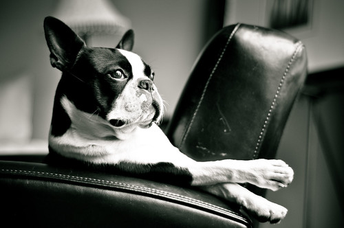 relax - Boston Terrier