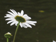 Marguerite by the Thames